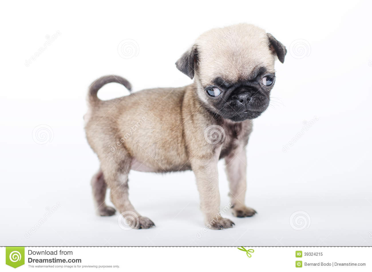 newborn pug puppies 47 very cute pug puppy pictures and photos 5673