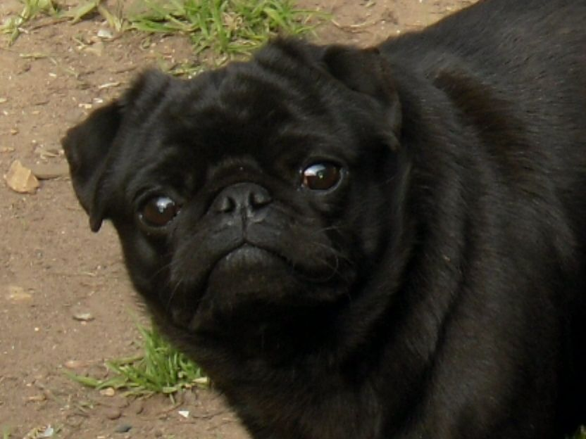 40 Beautiful Black Pug Dogs Pictures And Images