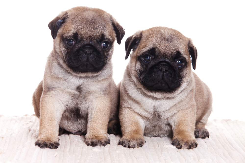 pics of pug puppies 47 very cute pug puppy pictures and photos 3461