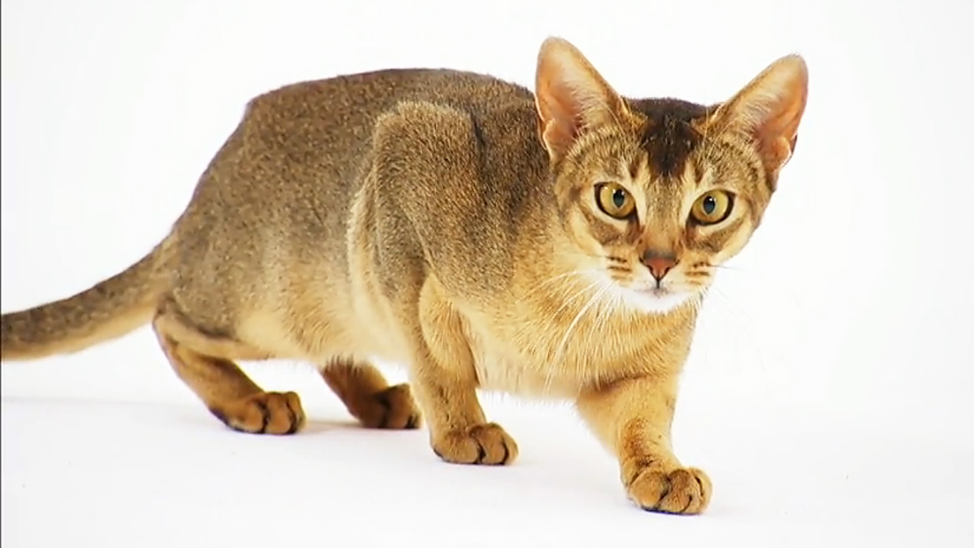 22 Very Beautiful Abyssinian Cat Pictures And Images