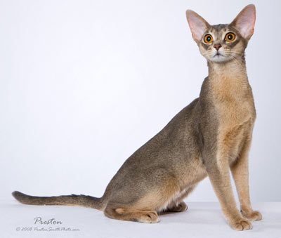 Blue Abyssinian Cat Pictures