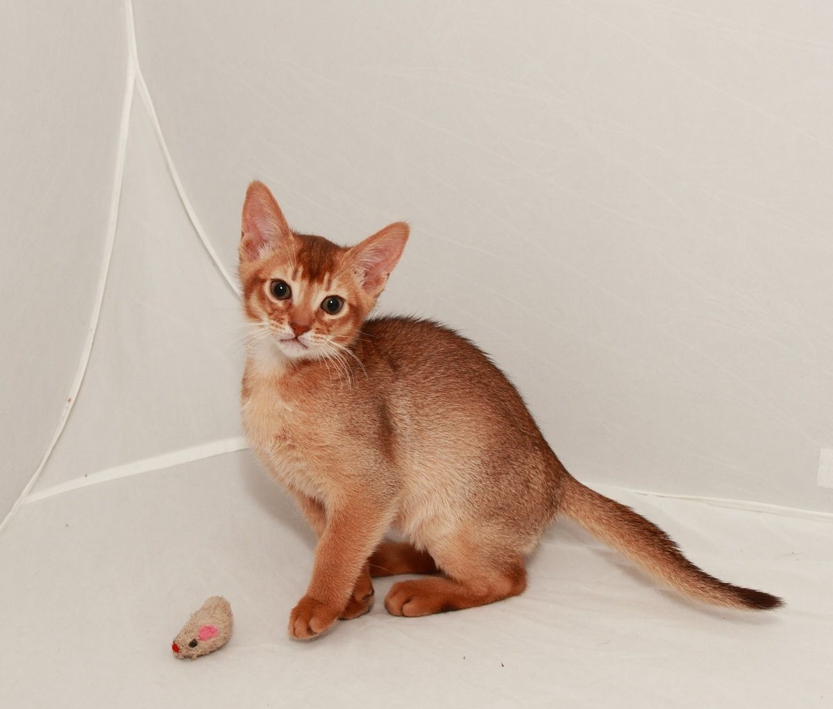 50 Very Cute Abyssinian Kitten Pictures And Photos