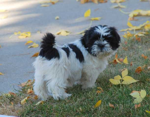 Black And White Shih Tzu Dog Pictures
