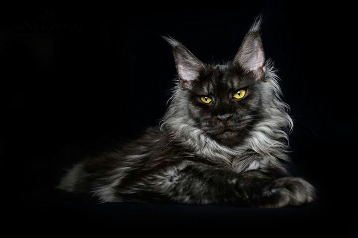 Maine Coon Black