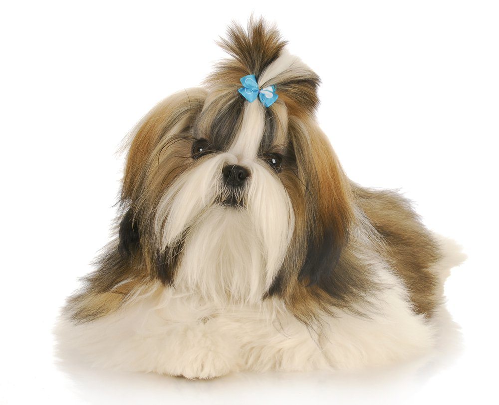 Beautiful Shih Tzu Dog With Blue Bow