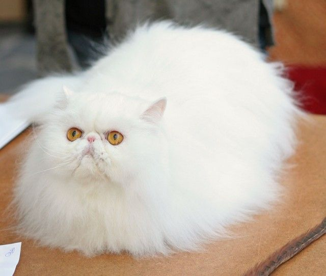31 most beautiful persian cat pictures and photos