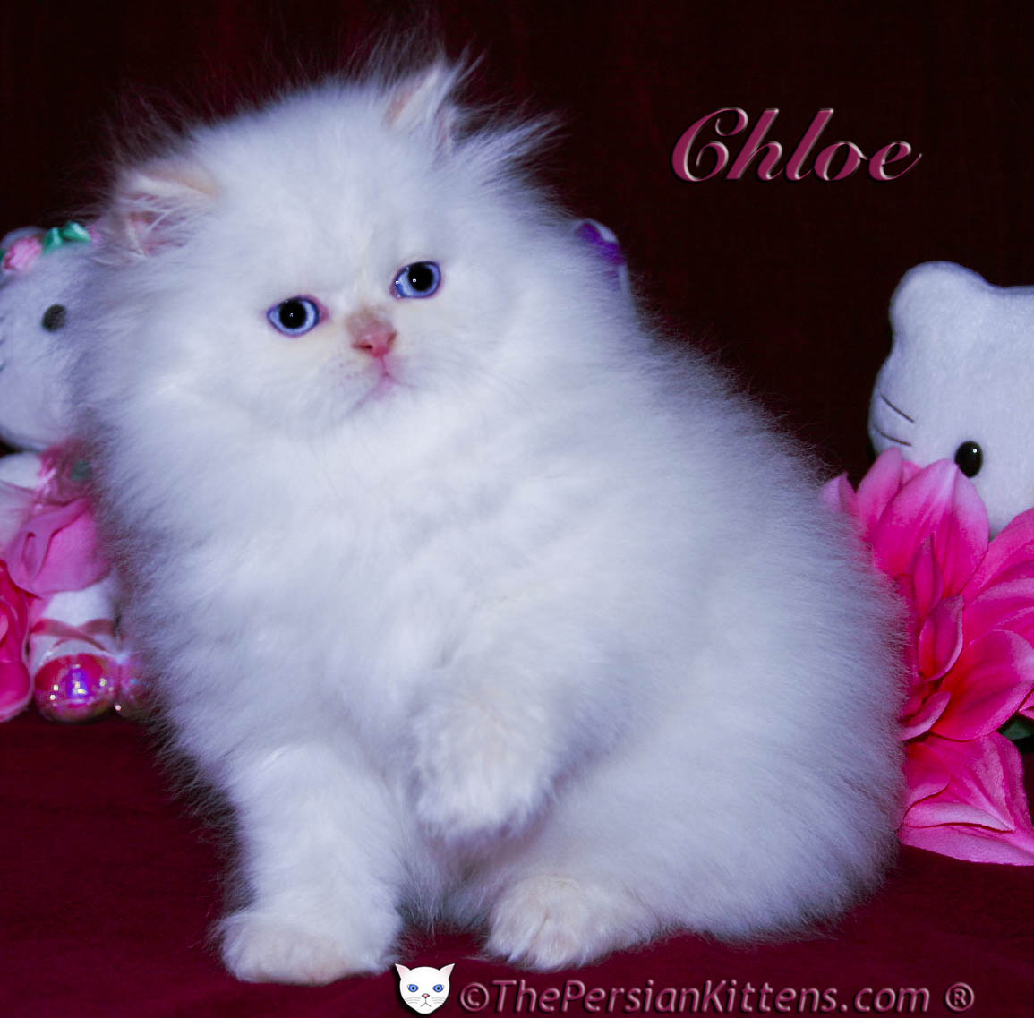 Beautiful White Persian Kitten