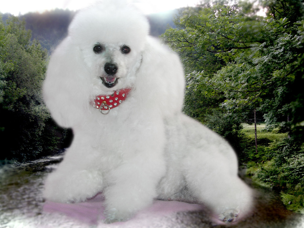 32 Very Beautiful White Poodle Dog Photos And Pictures