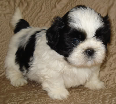 48 Very Cute Shih Tzu Puppy Pictures
