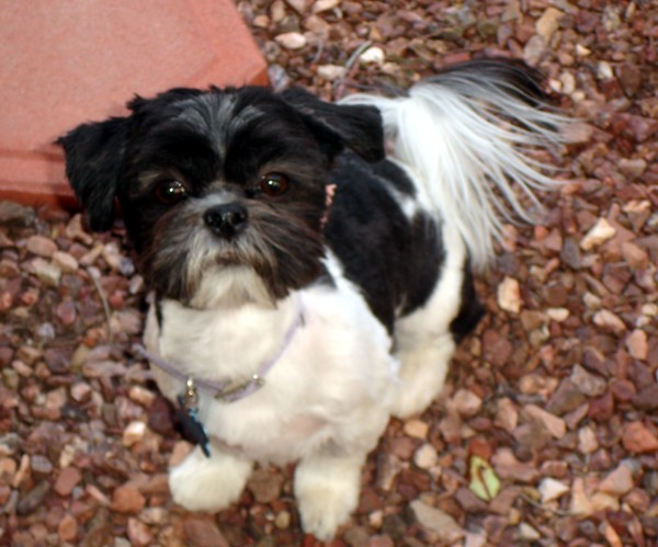 black white shih tzu 28 best black and white shih tzu dog pictures 5032