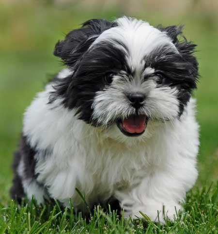 black white shih tzu 28 best black and white shih tzu dog pictures 652