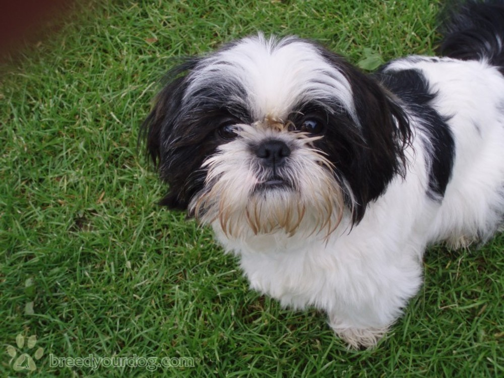 black and white shih tzu puppies 28 best black and white shih tzu dog pictures 6484
