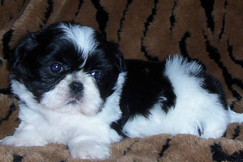 Black and white shih tzu dog sitting on sofa