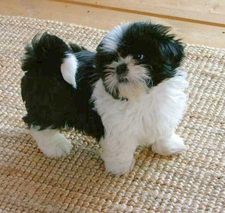 black white shih tzu 28 best black and white shih tzu dog pictures 8346