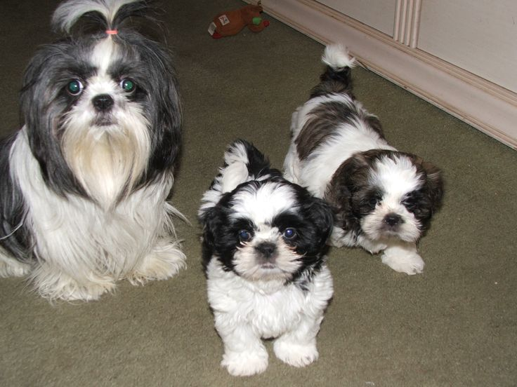 black white shih tzu 28 best black and white shih tzu dog pictures 8353