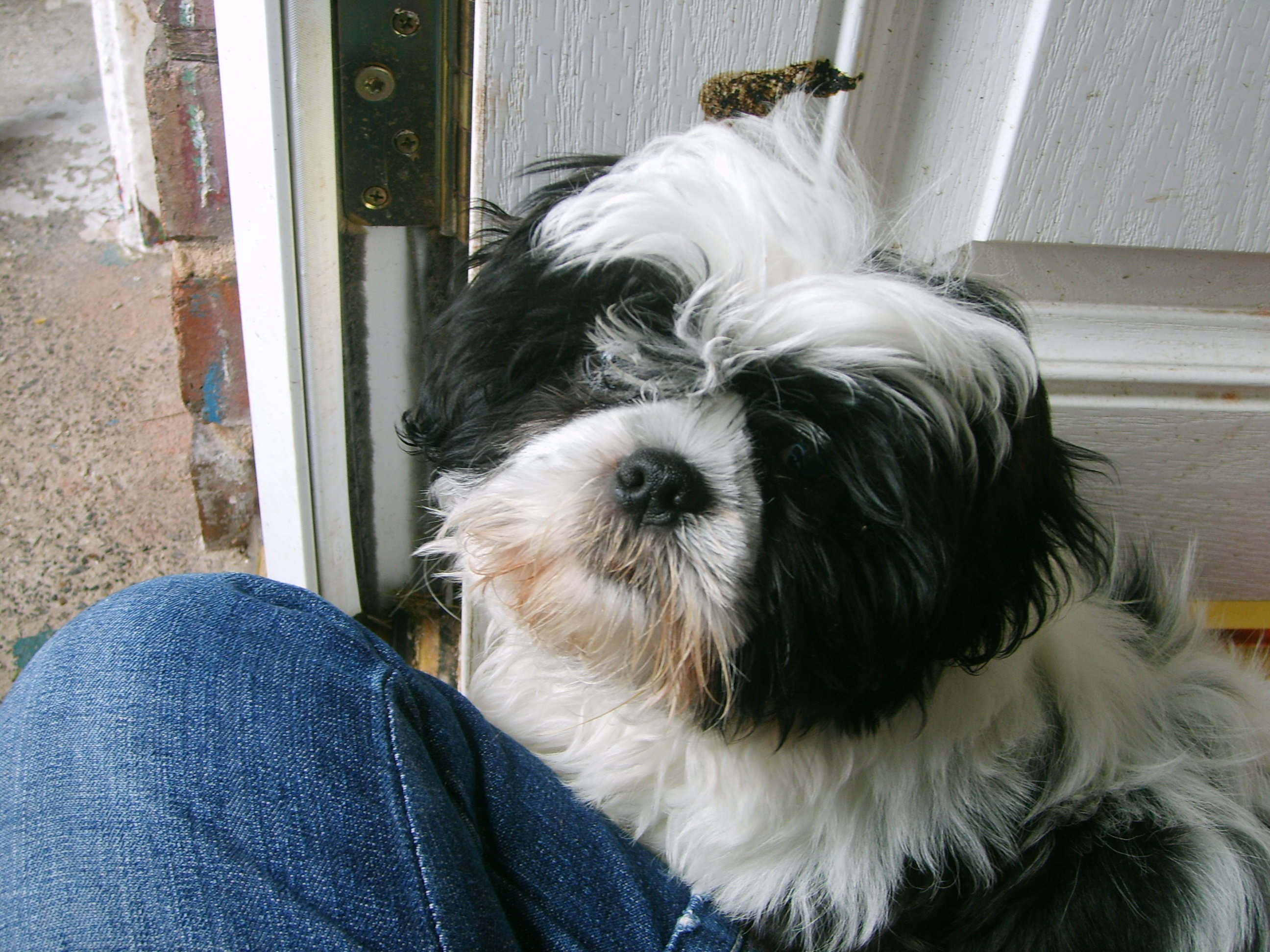 28 Best Black And White Shih Tzu Dog Pictures