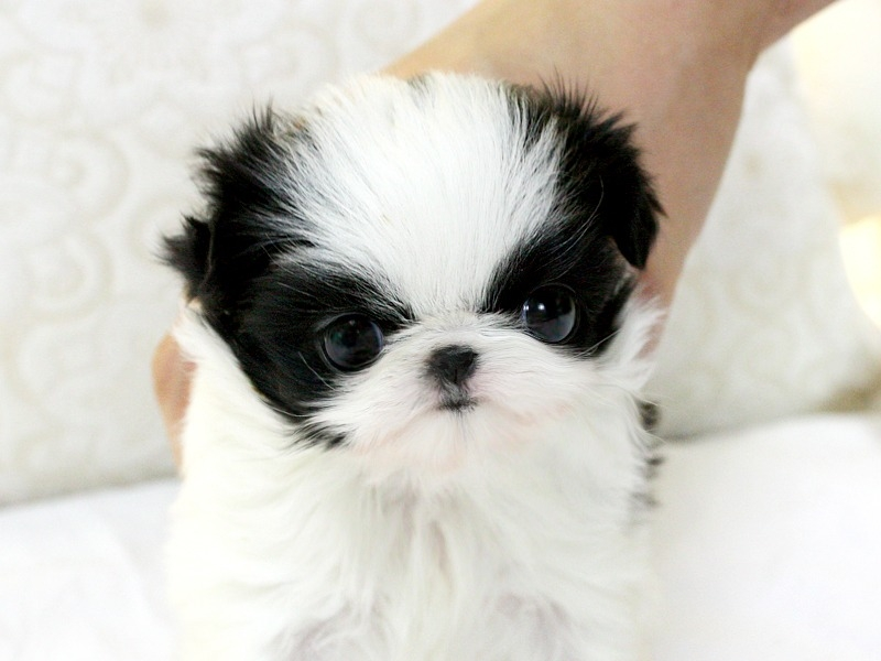 black and white shih tzu puppies 28 best black and white shih tzu dog pictures 6216