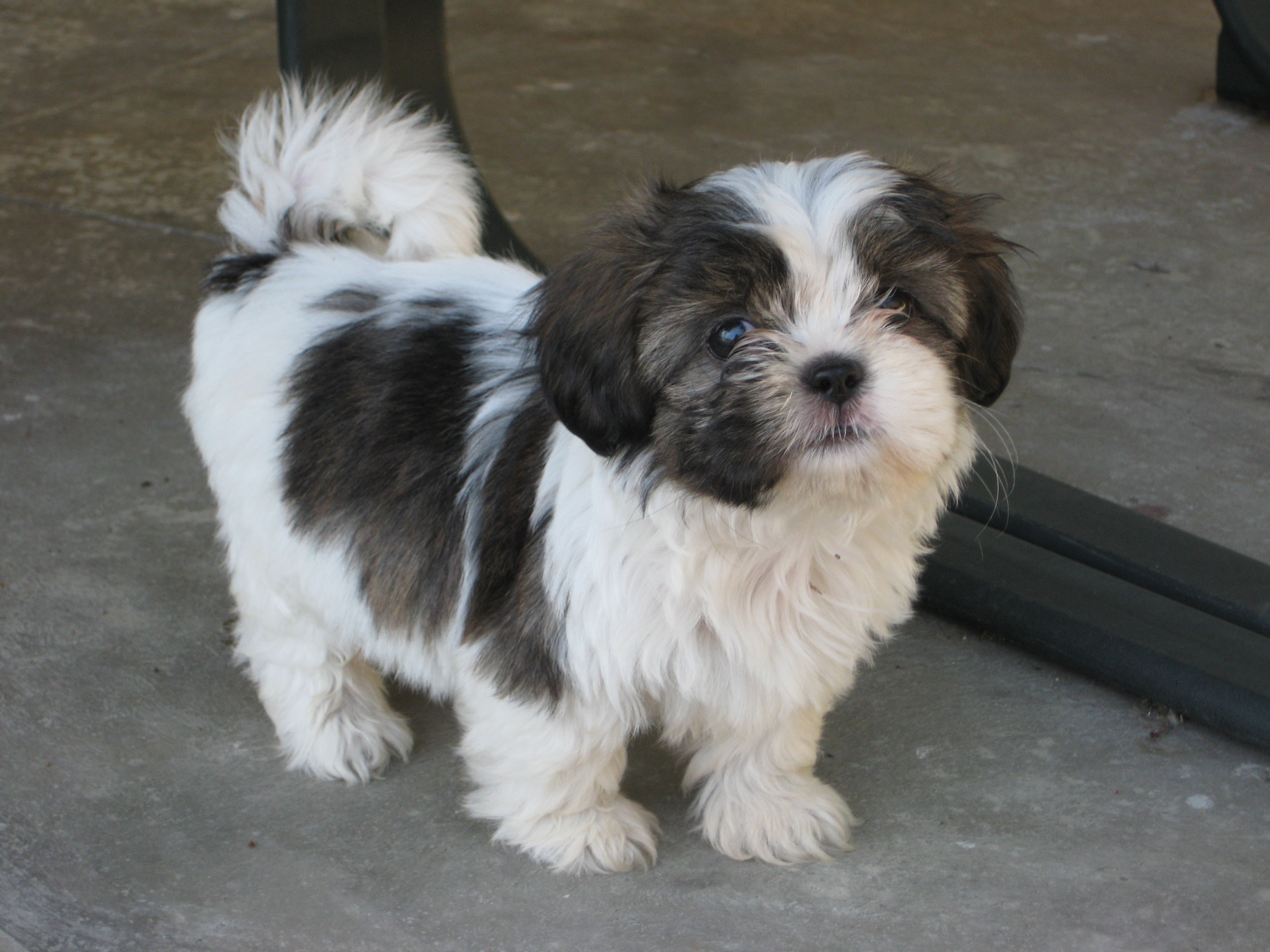 black white shih tzu black and white shih tzu puppy 6462