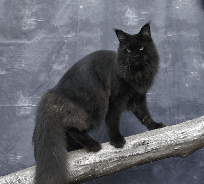 Are All Solid Black Cats Male
