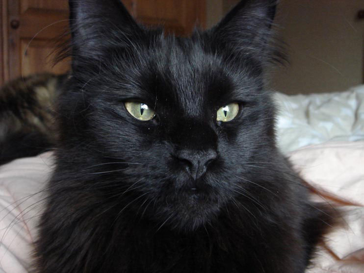 Pure Black Long Haired Cat