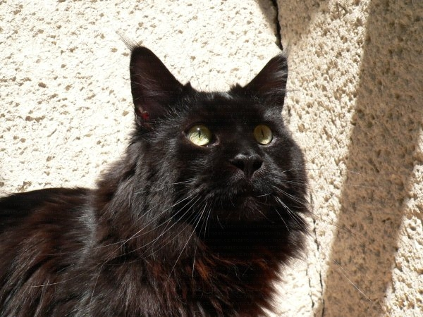 31 Most Beautiful Black Maine Coon Cat Pictures