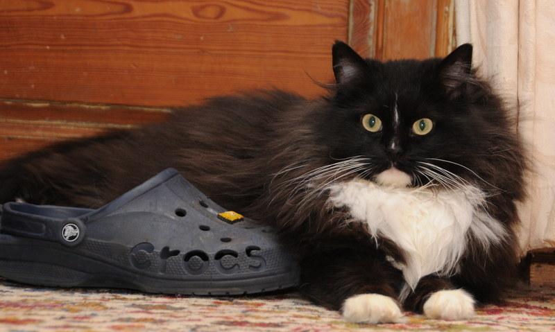 Can A Ragdoll Cat Be Black