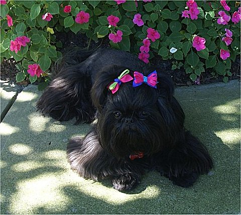 25 Very Best Black Shiih Tzu Pictures And Photos