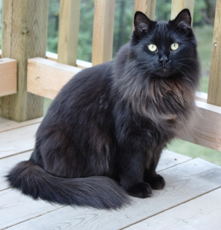 All black maine coon kittens
