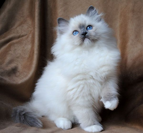 Blue Eyed Ragdoll Cat