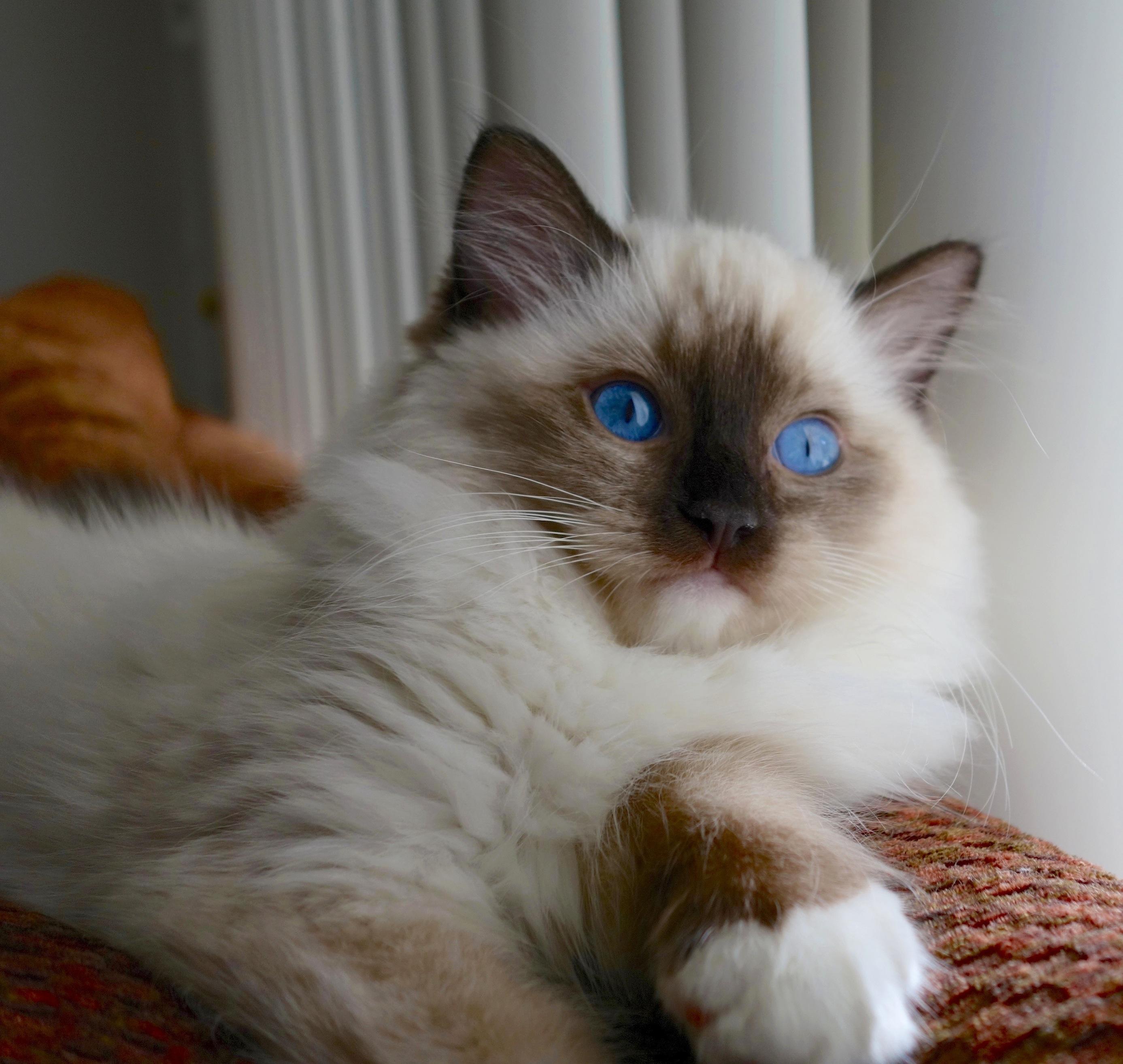 Blue Eyes Beautiful Ragdoll Cat