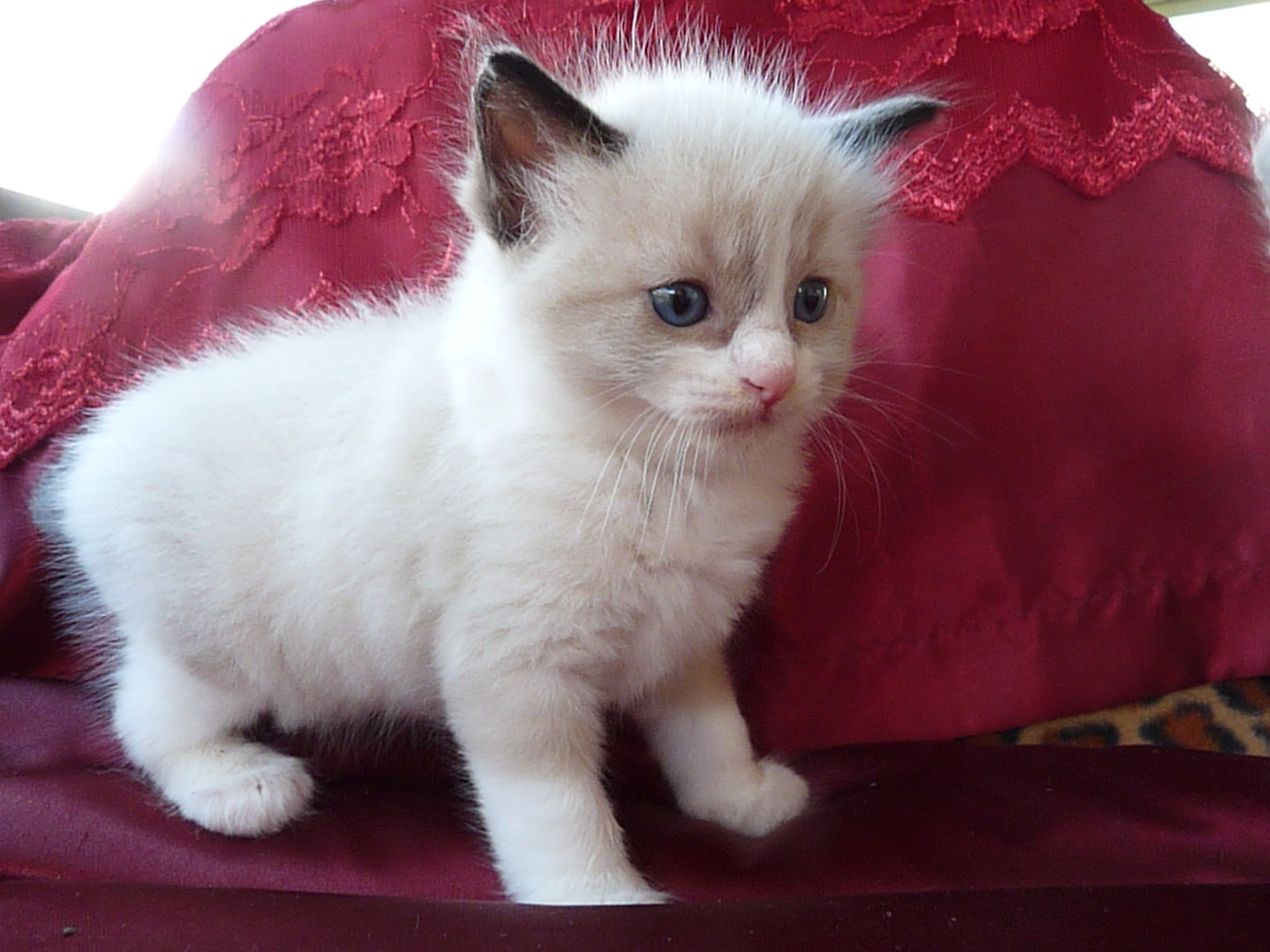 20 Very Cute Ragdoll Kitten And s
