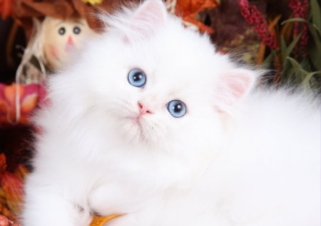 Fluffy Persian Cat Picture