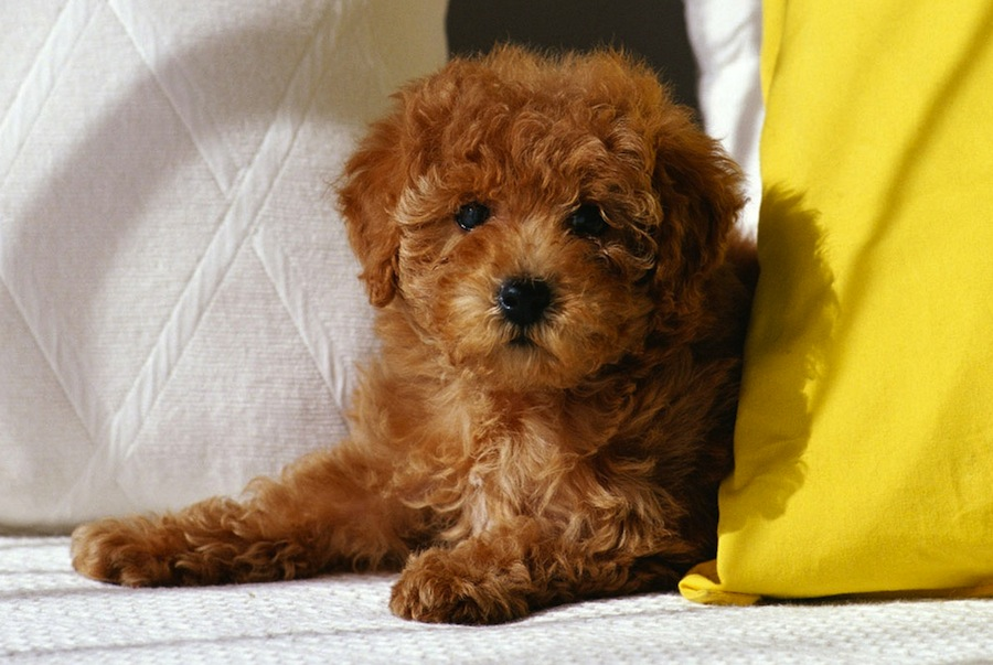 Most Expensive Cross Breed Dogs