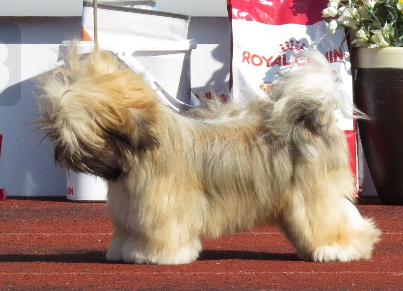 Cream Colored Shih Tzu Dog