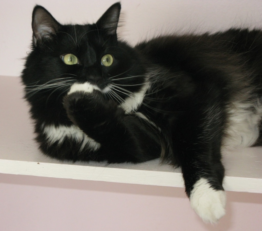 26 Black Ragdoll Pictures And Photos