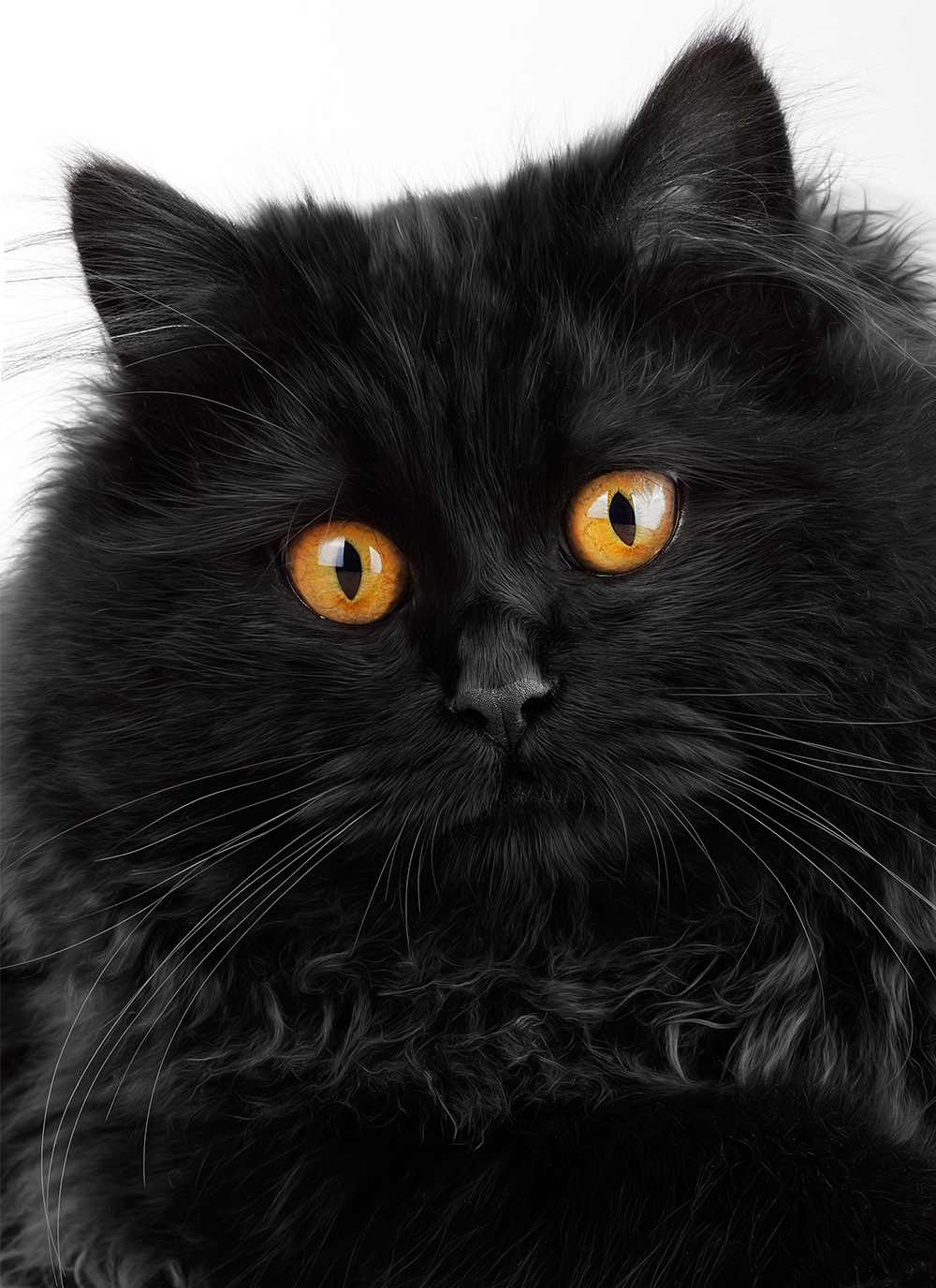 30 Very Beautiful Black Persian Cat Images And Pictures