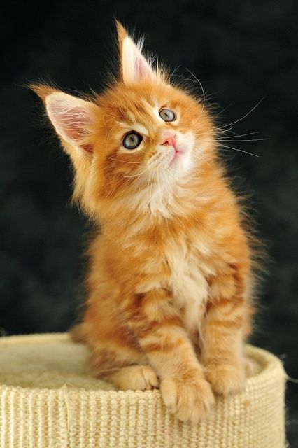 28 beautiful orange maine coon cat pictures and photos. Black Bedroom Furniture Sets. Home Design Ideas