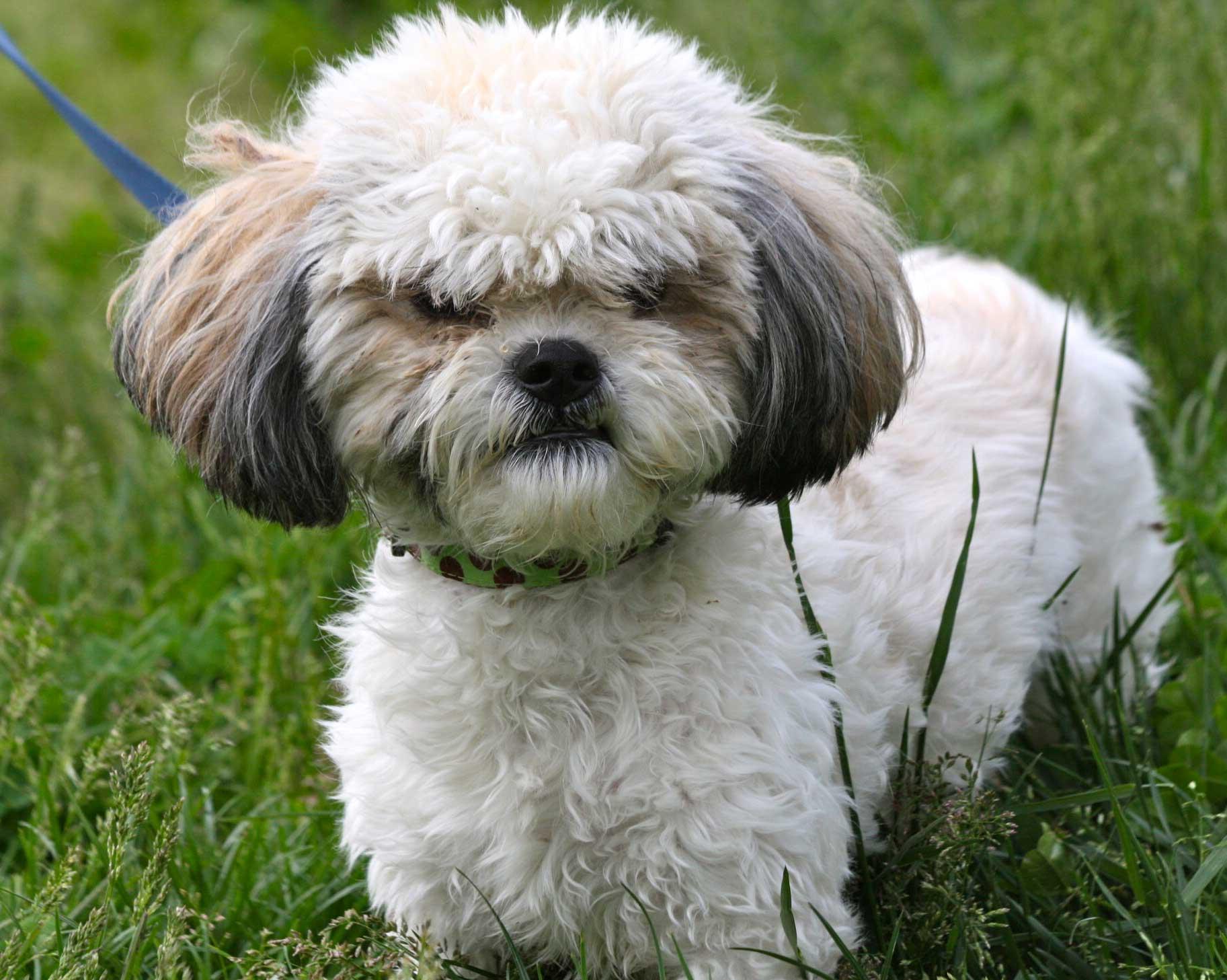 cute little shih tzu dog in lawn