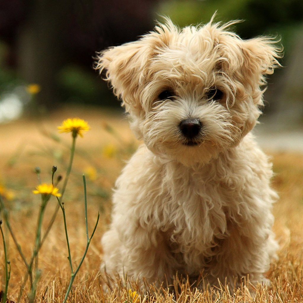 Cute Poodle Dog Wallpaper