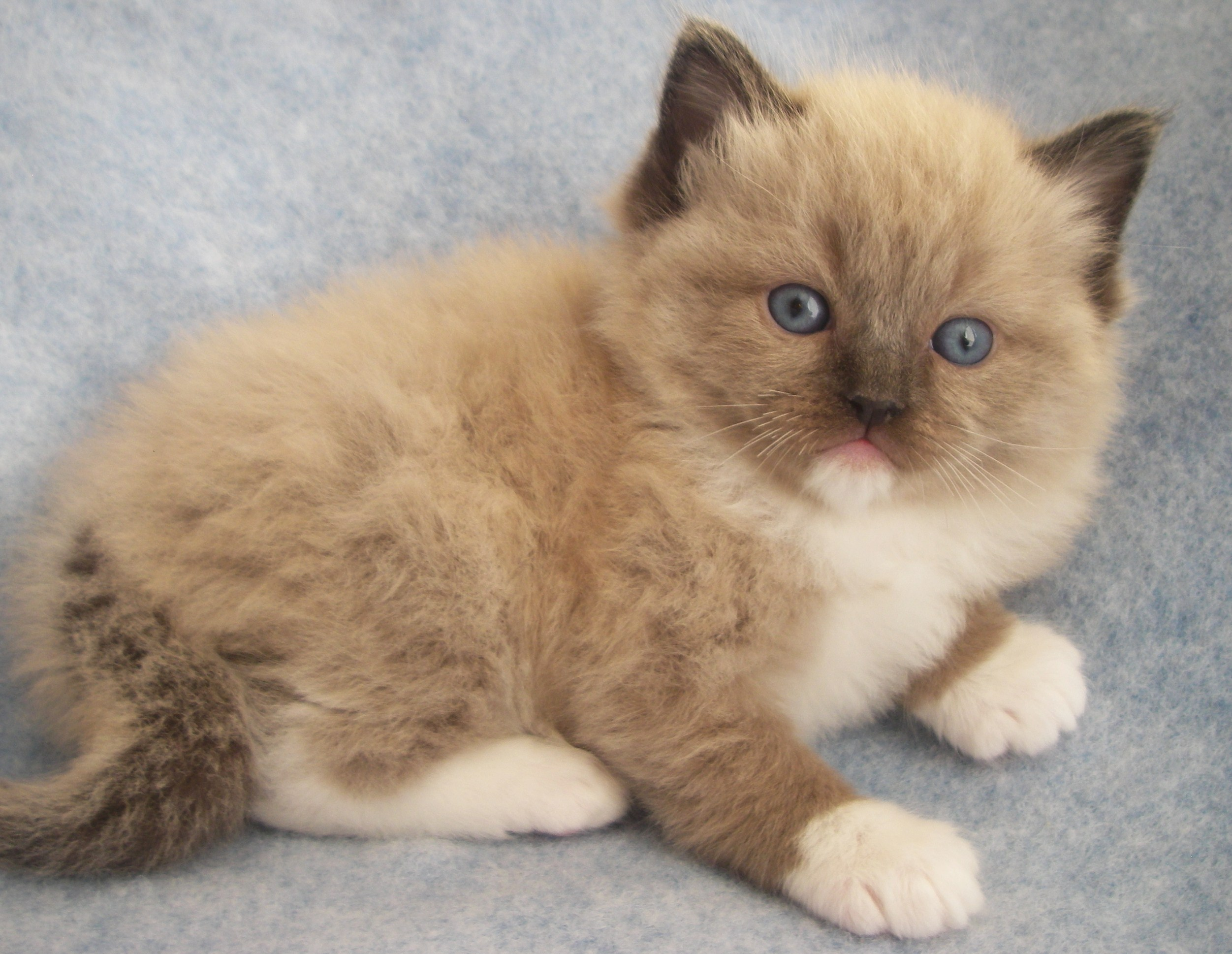 Cute Ragdoll Kitten Picture