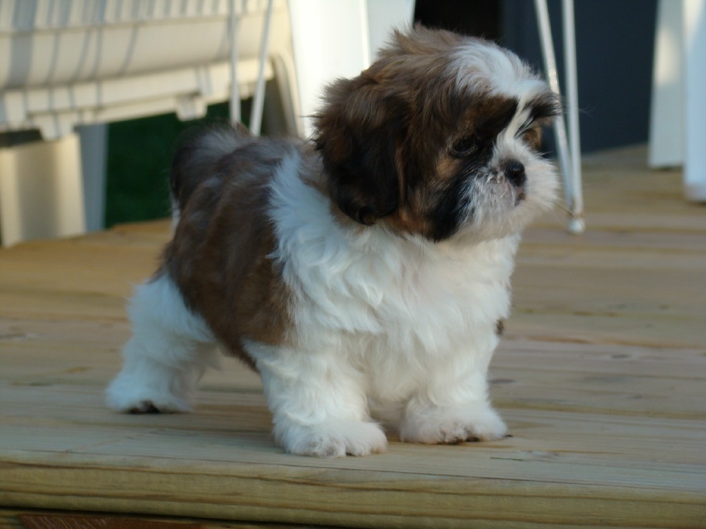 Cute Shih Tzu Puppy Image