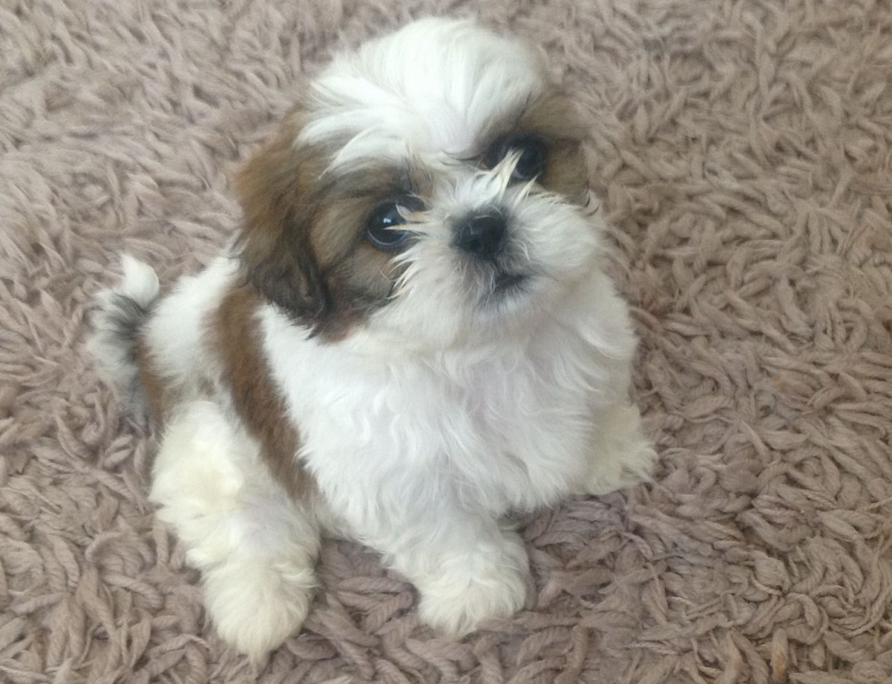 48 Very Cute Shih Tzu Puppy Pictures And Photos