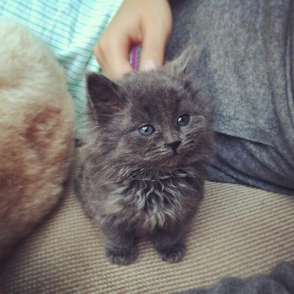 Dark Grey Maine Coon Kittens 51 Very Beautiful Main...