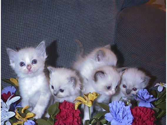 free cats and kittens pets kittens for sale