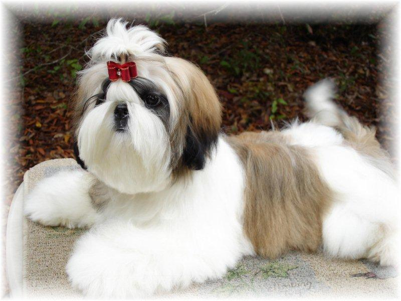 Shih Tzu Puppies Brown And White