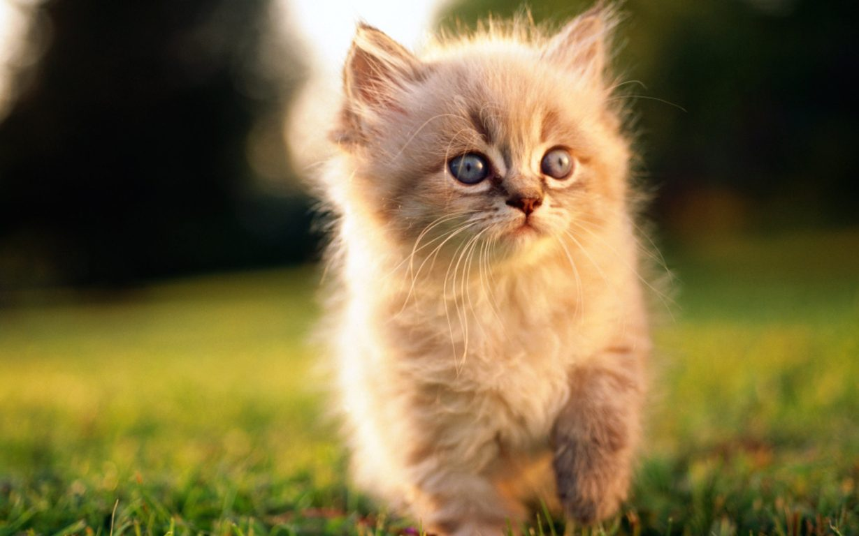 Permalink to 30  Beautiful Cute Persian Kittens