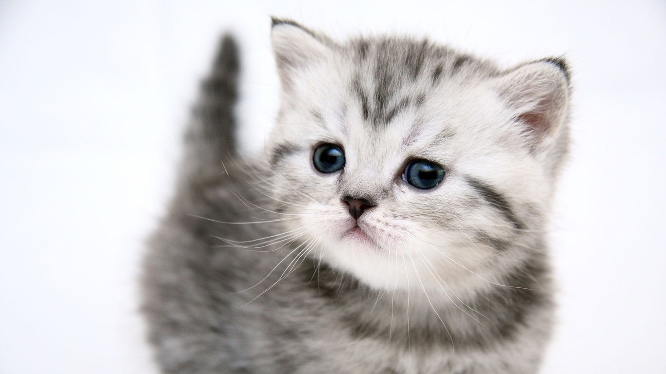 Gray Persian Cat Kitten