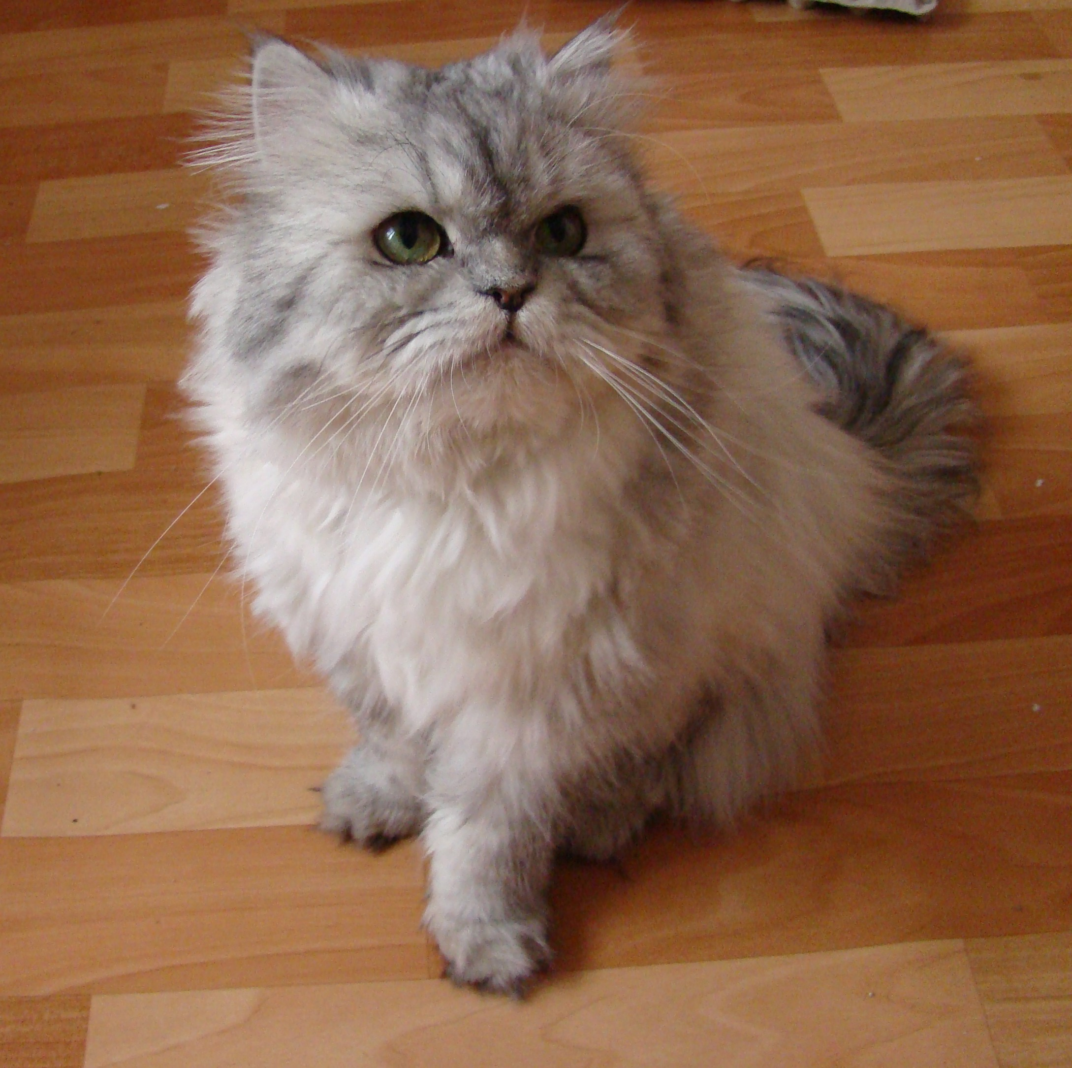 31 Most Beautiful Persian Cat And s