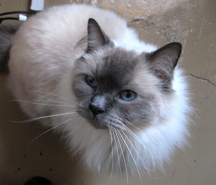 25 Best Ragdoll Cat Pictures And Photos