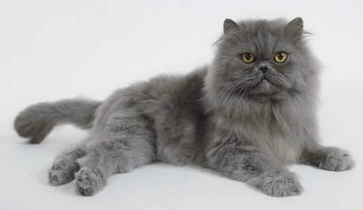 Grey long haired persian cat